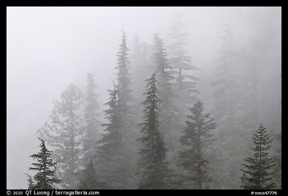 Firs in fog, North Cascades National Park.  (color)