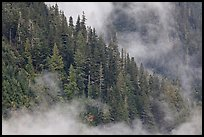 Tree ridge and fog, North Cascades National Park.  ( color)