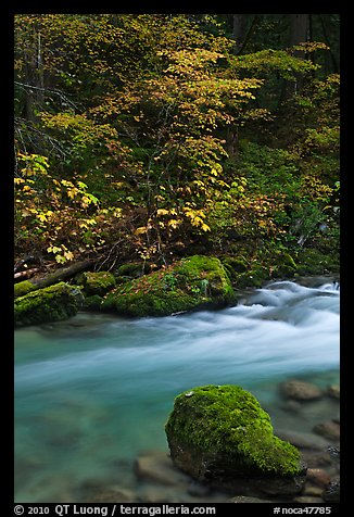Maple tree and boulder, North Fork of the Cascade River, North Cascades National Park.  (color)