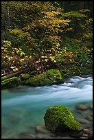 Maple tree and boulder, North Fork of the Cascade River, North Cascades National Park.  ( color)