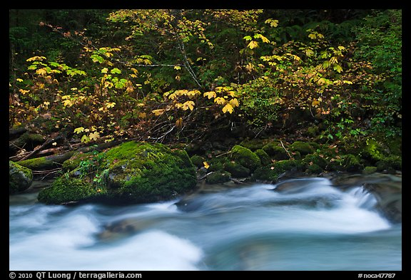 Maple tree in fall foliage next to Cascade River, North Cascades National Park. Washington, USA.