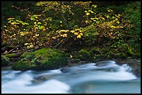 Maple tree in fall foliage next to Cascade River, North Cascades National Park. Washington, USA. (color)