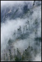 Hillside trees in fog, North Cascades National Park. Washington, USA. (color)
