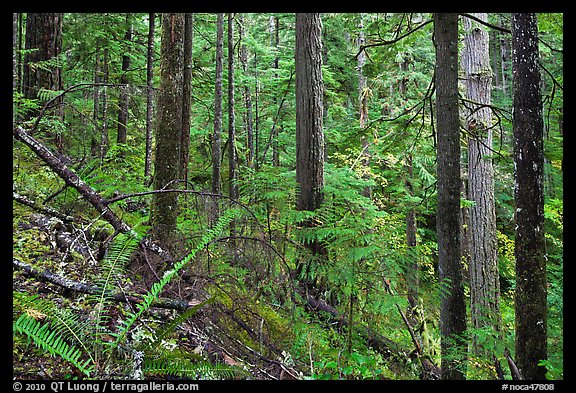 Old-growth forest of hemlock, cedar, and spruce, North Cascades National Park Service Complex.  (color)