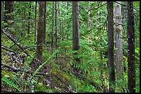 Old-growth forest of hemlock, cedar, and spruce, North Cascades National Park Service Complex. Washington, USA. (color)