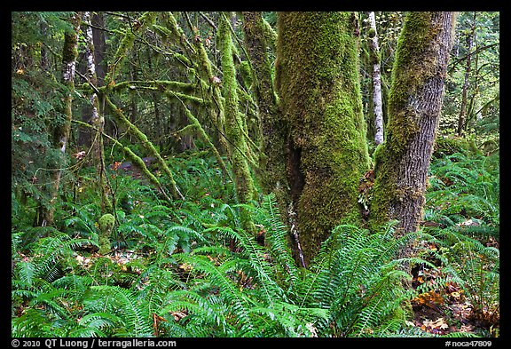Ferns and moss-covered trunks, North Cascades National Park Service Complex.  (color)