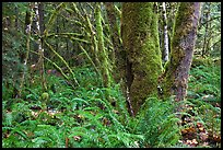 Ferns and moss-covered trunks, North Cascades National Park Service Complex. Washington, USA. (color)