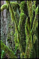 Branches covered with mosses and trunk, North Cascades National Park Service Complex. Washington, USA. (color)