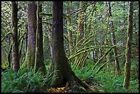 Primeval rainforest, North Cascades National Park Service Complex. Washington, USA. (color)