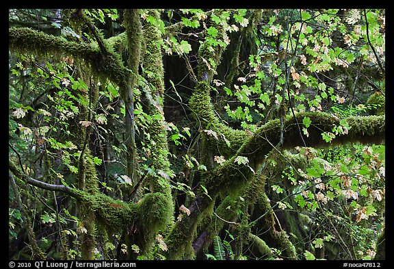 Maple and moss-covered tree trunks, North Cascades National Park Service Complex. Washington, USA.