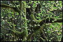 Maple and moss-covered tree trunks, North Cascades National Park Service Complex. Washington, USA. (color)