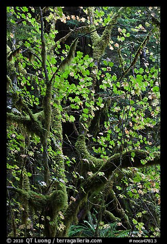 Maple leaves in dark rainforest, North Cascades National Park Service Complex.  (color)