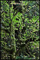 Maple leaves in dark rainforest, North Cascades National Park Service Complex. Washington, USA.