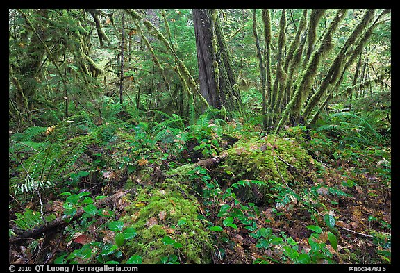 Lush rainforest, North Cascades National Park Service Complex.  (color)