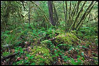Lush rainforest, North Cascades National Park Service Complex. Washington, USA. (color)