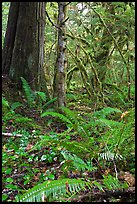 Ferns and rainforest, North Cascades National Park Service Complex. Washington, USA. (color)