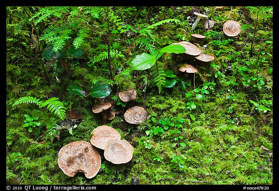 Mushrooms, North Cascades National Park Service Complex.  (color)