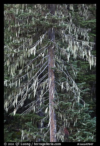 Spruce tree with hanging lichen, North Cascades National Park.  (color)