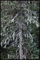 Spruce tree with hanging lichen, North Cascades National Park. Washington, USA. (color)