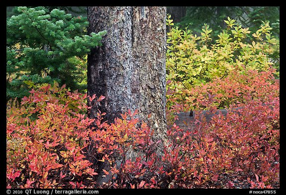 Berry plants in fall color and tree trunk, North Cascades National Park.  (color)