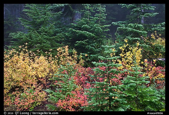 Mosaic of berry plants in autumn color and sapplings, North Cascades National Park.  (color)