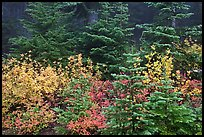 Mosaic of berry plants in autumn color and sapplings, North Cascades National Park. Washington, USA. (color)