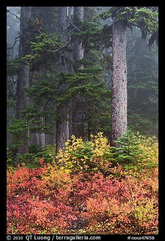 Foggy forest in autumn with bright berry colors, North Cascades National Park.  (color)