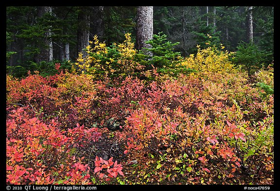 Berry shrubs color forest fall in autumn, North Cascades National Park. Washington, USA.
