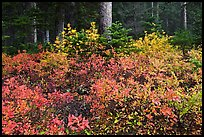 Berry shrubs color forest fall in autumn, North Cascades National Park.  ( color)