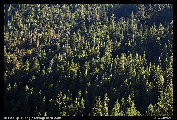 Forest on slope,  North Cascades National Park Service Complex. Washington, USA.