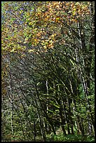 Mossy trunks and leaves in fall color, North Cascades National Park Service Complex.  ( color)