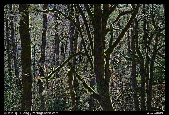 Backlit moss-covered trees, North Cascades National Park Service Complex.  (color)