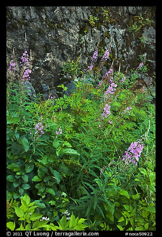 Fireweed and cliff,  North Cascades National Park Service Complex.  (color)