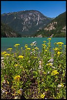 Summer wildflowers and Diablo Lake,  North Cascades National Park Service Complex. Washington, USA.