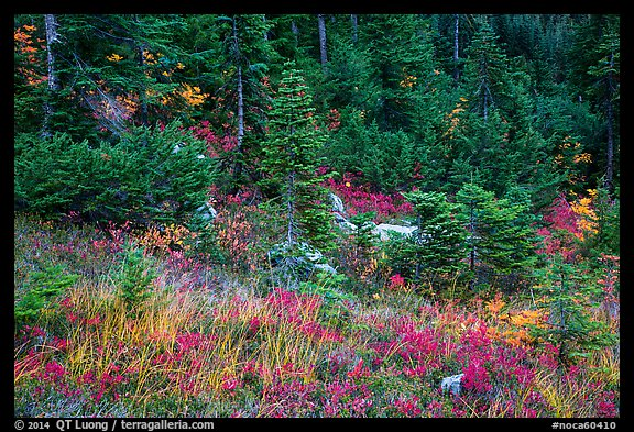 Colorful berry plants and forest in autumn, North Cascades National Park Service Complex.  (color)