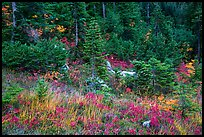 Colorful berry plants and forest in autumn, North Cascades National Park Service Complex.  ( color)