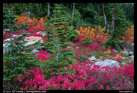 Berry plants, rocks and spruce forest in autumn, North Cascades National Park Service Complex.  (color)