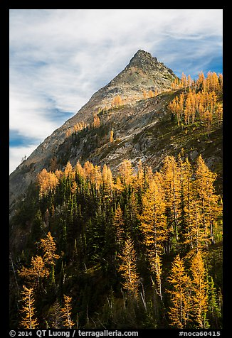Larch trees in autumn foliage below triangular peak, Easy Pass, North Cascades National Park.  (color)