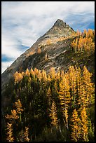 Larch trees in autumn foliage below triangular peak, Easy Pass, North Cascades National Park.  ( color)