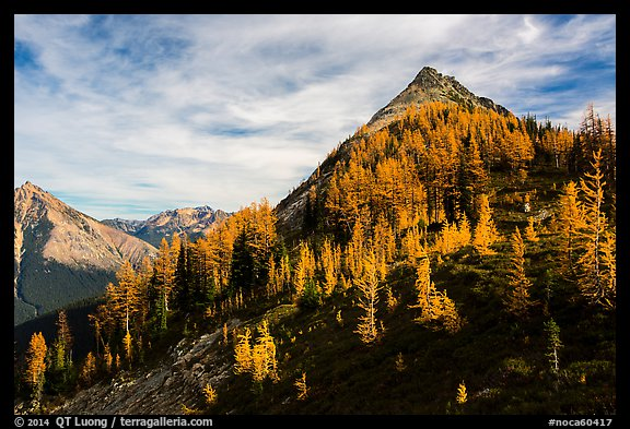 Alpine larch in autumn foliage above Easy Pass, North Cascades National Park.  (color)