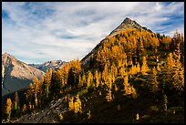 Alpine larch in autumn foliage above Easy Pass, North Cascades National Park.  ( color)