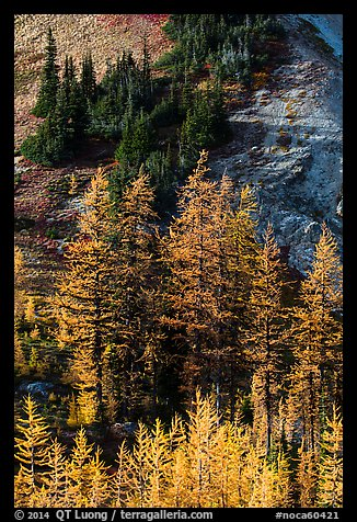 Slope with subalpine larch (Larix lyallii) in autumn, Easy Pass, North Cascades National Park.  (color)
