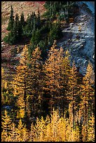 Slope with subalpine larch (Larix lyallii) in autumn, Easy Pass, North Cascades National Park.  ( color)