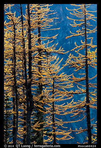 Golden needles of alpine larch (Larix lyallii)  in autumn, North Cascades National Park.  (color)