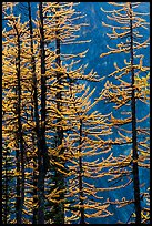 Golden needles of alpine larch (Larix lyallii)  in autumn, North Cascades National Park.  ( color)