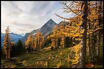 Alpine larch in autumn and Ragged Ridge, North Cascades National Park.  ( color)