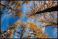 Looking up alpine larch in autumn, North Cascades National Park.  ( color)