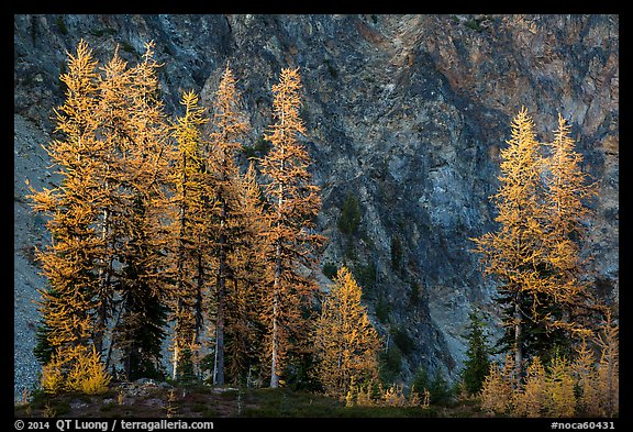 Alpine larch in autumn and rock wall, Easy Pass, North Cascades National Park.  (color)