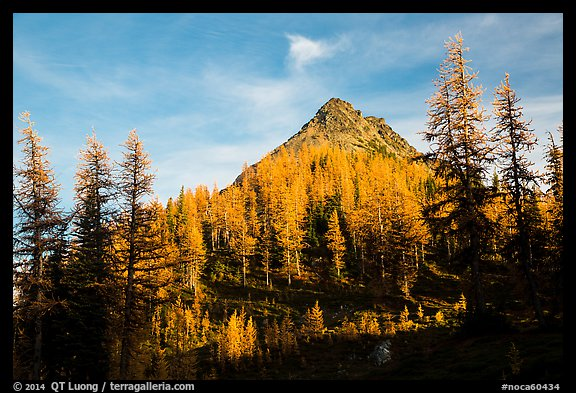 Subalpine larch at sunset, Easy Pass, North Cascades National Park.  (color)