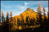Subalpine larch at sunset, Easy Pass, North Cascades National Park.  ( color)